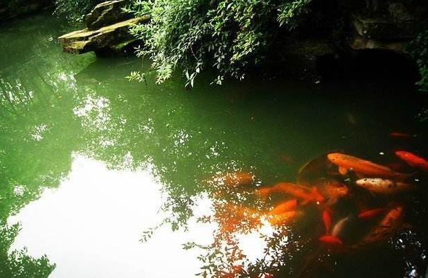 绿水能够养锦鲤吗?